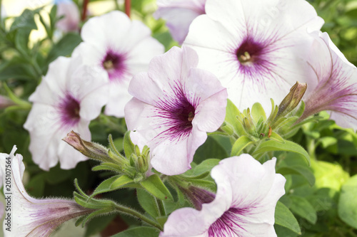 The Flower Bed Of White Petunias Petunia Grandiflora Buy This