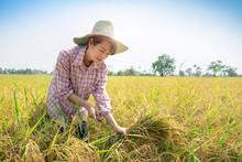 Happy Farmer Woman  Harvest Rice Paddy Field With Blue Sky