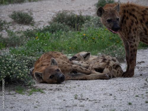 Foto op Canvas Hyena Hyena Family