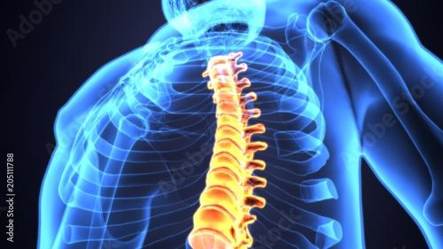 Fotomural 3D Illustration of Spinal cord (Thoracic Vertebrae) a Part of Human Skeleton Ana