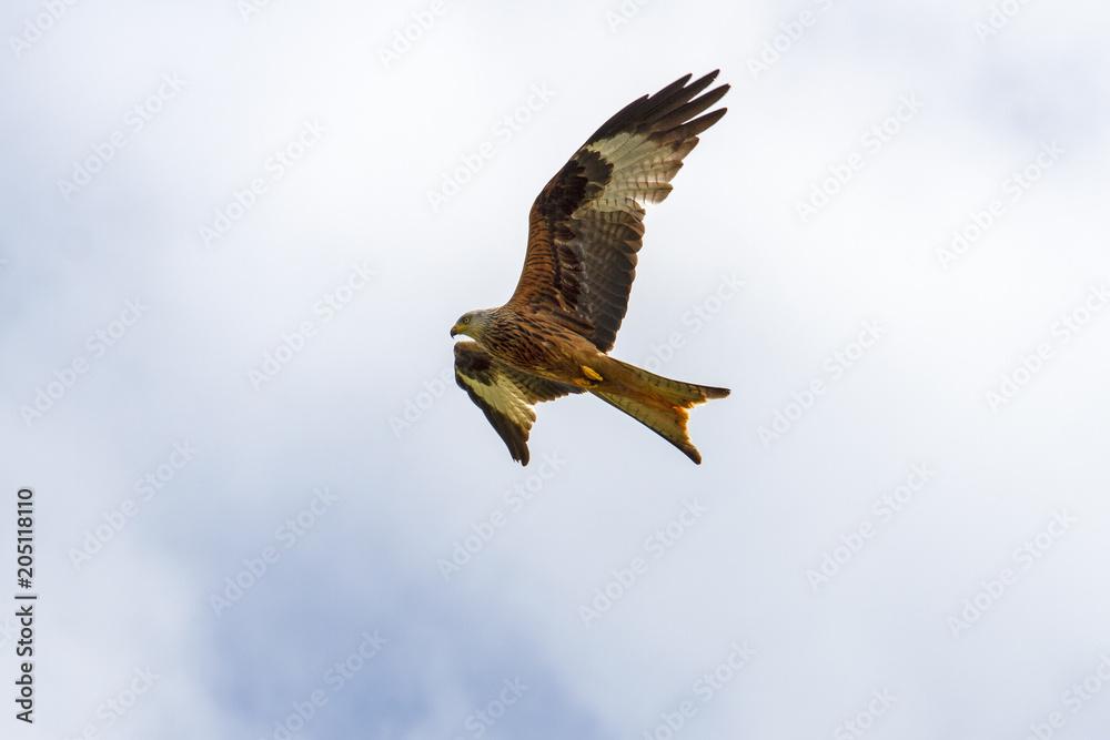 Roter Milan - Hawk - Red Milan - Greifvogel - Bayern - Rotmilan