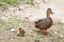 Mother And Baby Mallard Ducks Walking And Quacking On A Dirt Bank