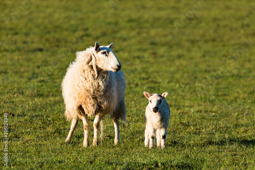 Foto op Canvas Schapen mother sheep with cute little spring lamb during morning sunrise