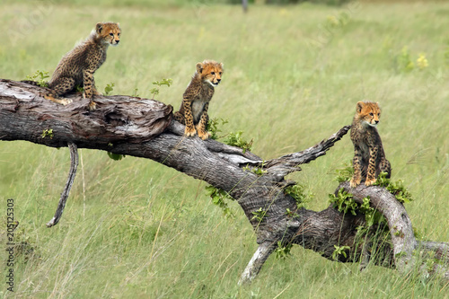 The cheetah (Acinonyx jubatus), also known as the hunting leopard, cubs on a slant dry tree. Cheetah cubs in okavango delta.