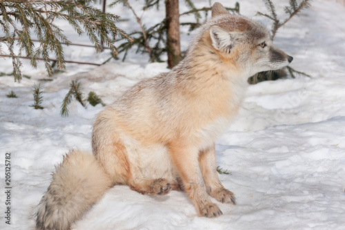 Poster Puma Young corsac fox is sitting on white snow. Animals in wildlife.