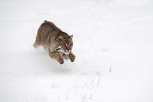 Bobcat (Lynx Rufus) Leaps Thro...