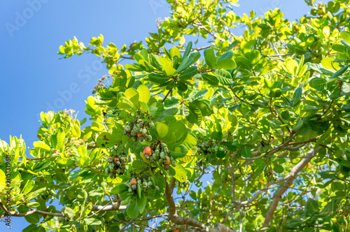 Cashew tree.