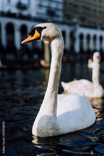 Close up of beautiful white swan swimming on Alster river canal near city hall in Hamburg
