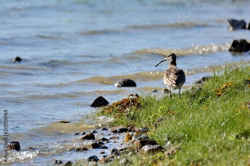 Photo Un Courlis cendré en bord de mer. Bretagne