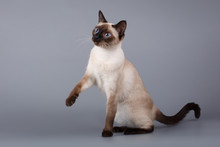 Siamese Cat Sitting On Gray Background With A Raised Paw