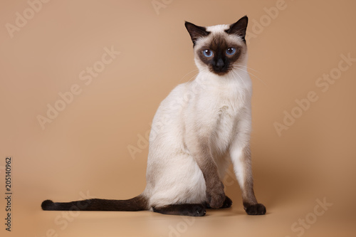 Fotografía  Cute siamese seal-point cat sitting on brown background