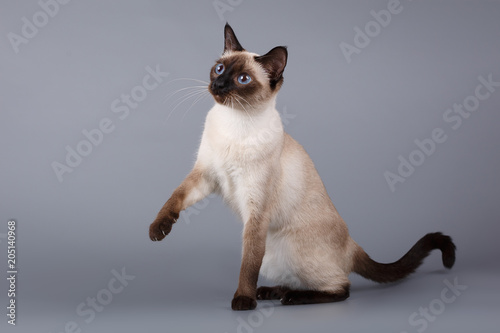Fotomural  siamese cat sitting on gray background with a raised paw