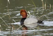 Male Redhead Duck (Aythya Amer...