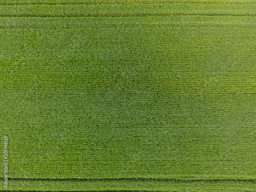 The wheat field is green. Young wheat on the field. View from above. Textural background of green wheat. Green grass. - 205148169