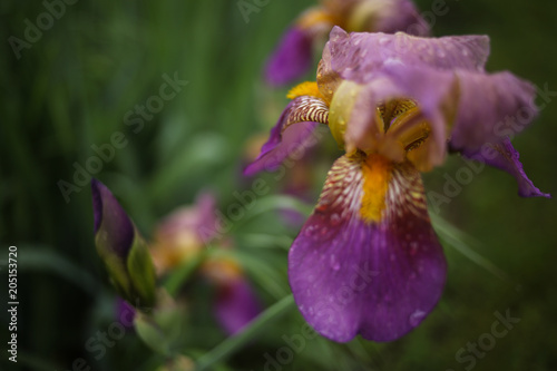 Staande foto Iris Purple and Yellow Bearded Iris Flowers Blooming in a Spring Garden