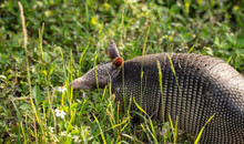 Armadillo Escapes Into The Tal...