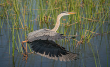 Great Blue Heron Takes Flight ...