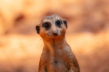 Meerkat Eyes Are Watching You
