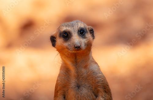 Fotografie, Obraz  meerkat eyes are watching you