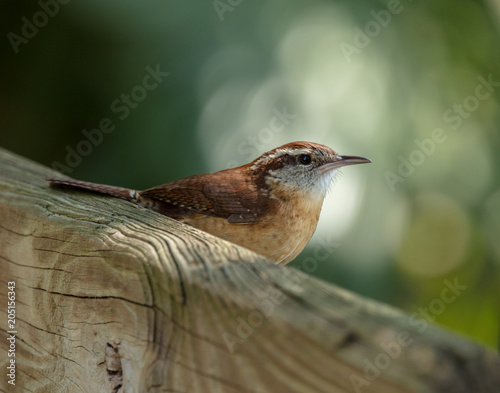 Fotografie, Obraz  wren is perched at sunset