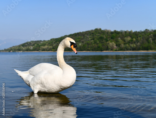 Foto op Canvas Zwaan Mute swan in a blue lake