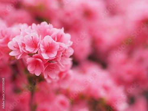 Tuinposter Azalea 満開に咲くピンク色のツツジ
