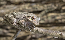 He Portrait Of Gray Treefrog (Hyla Versicolor)