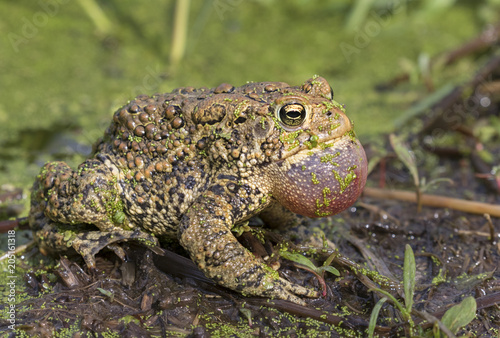 American toad (Anaxyrus americanus) with inflated throat sack calling Poster