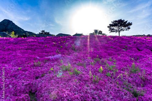 Foto auf AluDibond Shibazakura a perennial moss ,often called moss phlox or pink moss at Hwangmaesan County Park in Hapcheon-gun, Gyeongsangnam-do.