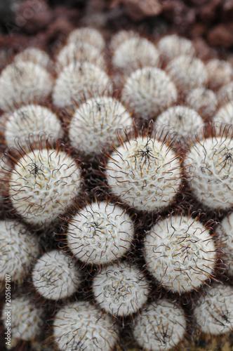 Staande foto Cactus サボテン マミラリア マルコシー