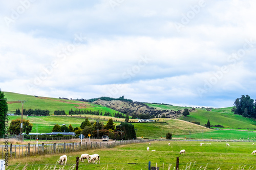Spoed Foto op Canvas Wit A stunning landscape scene of the agriculture in a rural area in New Zealand with a flock of sheep on a green grassland in the cloudy day.