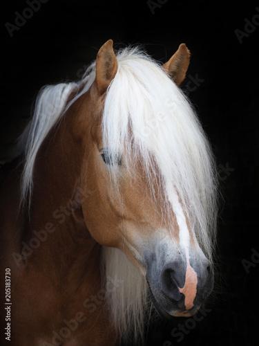 Stunning Haflinger Stallion Fototapete