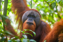 Portrait Of Male Sumatran Oran...