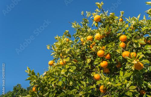 Cropped shot view of New Zealand grapefruit (Poor man's Orange) on grapefruit tree.