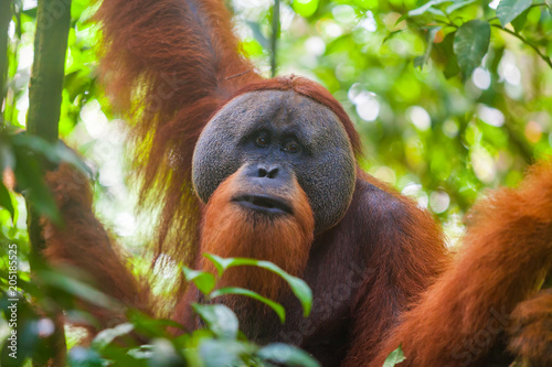 Portrait of male Sumatran orangutan Pongo abelii in Gunung Leuser National Park, Sumatra, Indonesia.