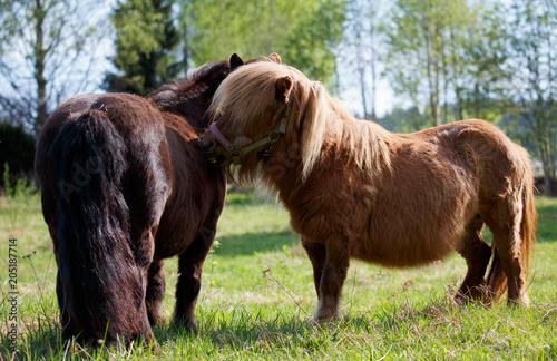 Keuken foto achterwand Buffel Two shetlands pony in field making friends