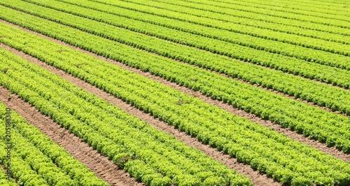 Foto auf Gartenposter Landschappen lettuce field in a farming plantation