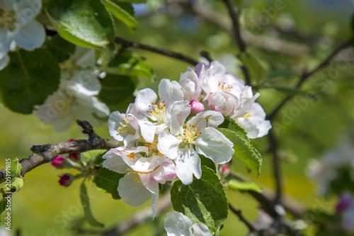 Plakat Blossom - jabłoń - kwitnienie - kwitnienie