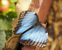 Great Blue Morpho Butterfly Si...