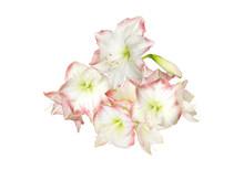 White Pink Amaryllis Buds