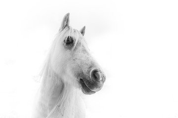 Horse. Black and white Photography.
