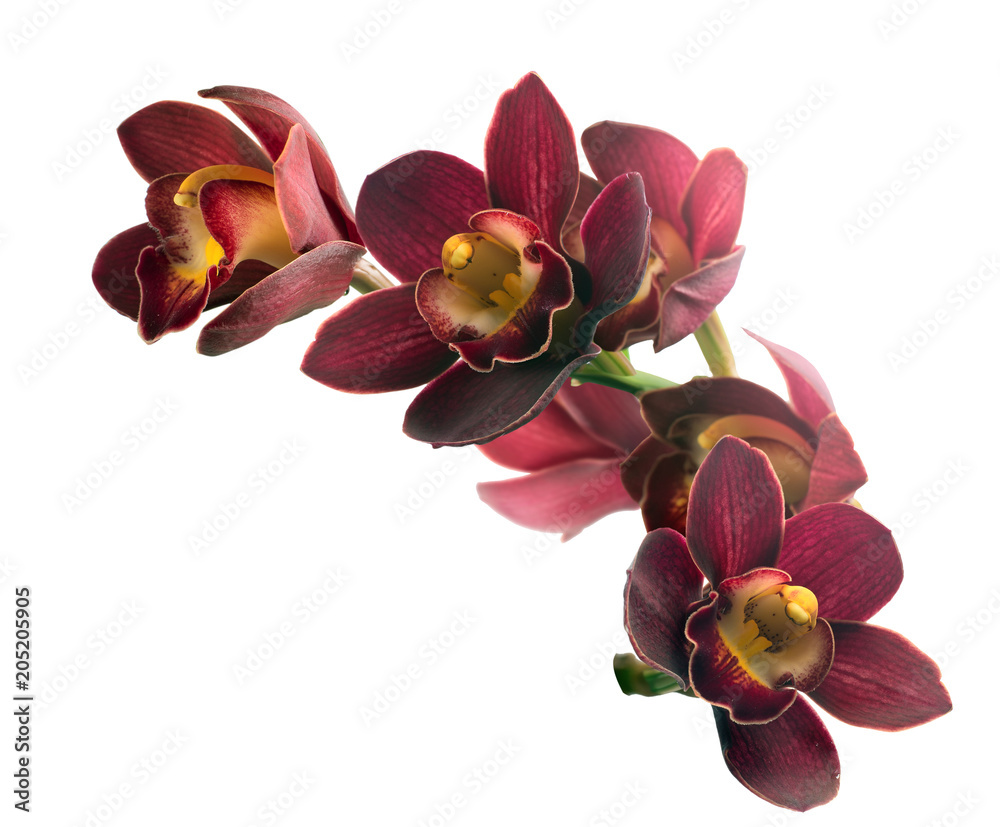 Branch with flowers Cymbidium Orchid. Isolated