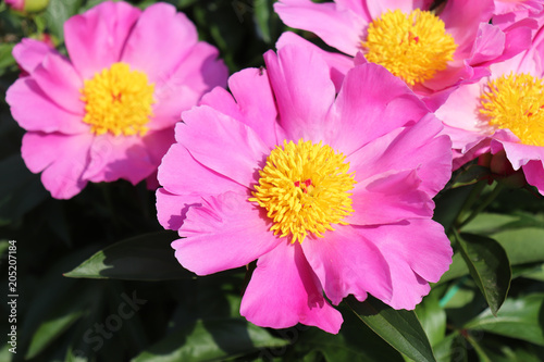 Fotografia  Paeonia officinalis in organic garden sunny morning full of elegant particularly beautiful peony flowers