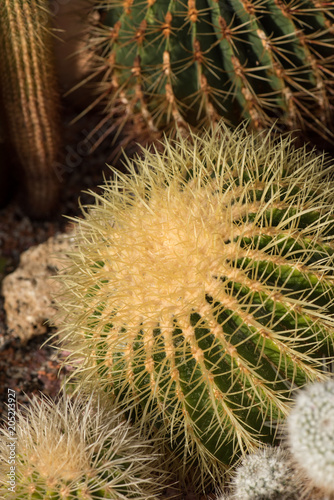 Foto op Plexiglas Cactus Still life color macro image of a large golden ball cactus with white spikes on natural background seen from the side