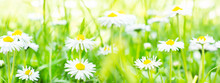Daisies, Flower Meadow In The ...