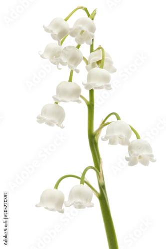Poster Muguet de mai White flower of lily of the valley, lat. Convallaria majalis, isolated on white