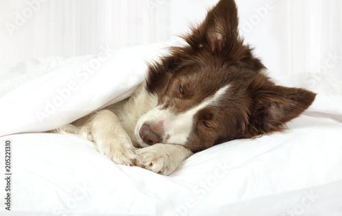 Tablou Canvas Adorable Border Collie dog lying on a bed under blanket