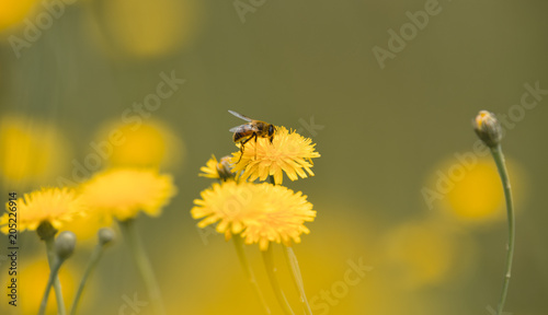 Aluminium Prints Bee Bee on a wild flower, Patagonia