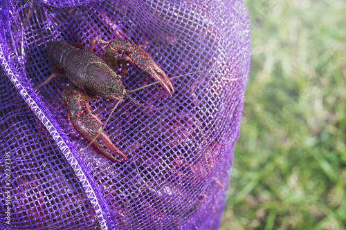 Live Crawfish for Boiling
