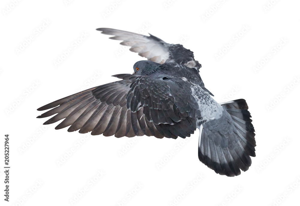 isolated side view of dark flying dove